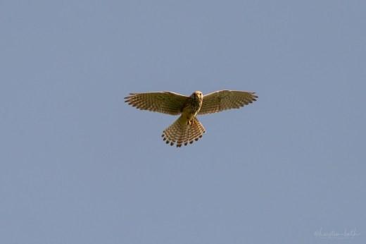 Turmfalke | Falco tinnunculus | Rüttelflug