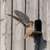 Turmfalke | Falco tinnunculus |Landung
