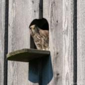 Turmfalke | Falco tinnunculus