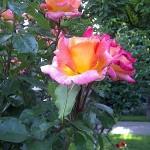 Roses in Volksgarten - Vienna, Austria