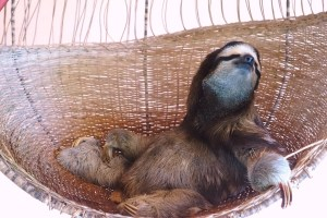 Buttercup, Sloth, Sloth Sanctuary