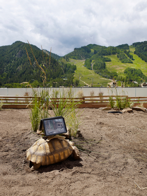 """Cal Guo-Qiang's """"Moving Ghost Town,"""" a controversial site-specific artwork involving live African spurred tortoises at the Aspen Art Museum in 2014. 