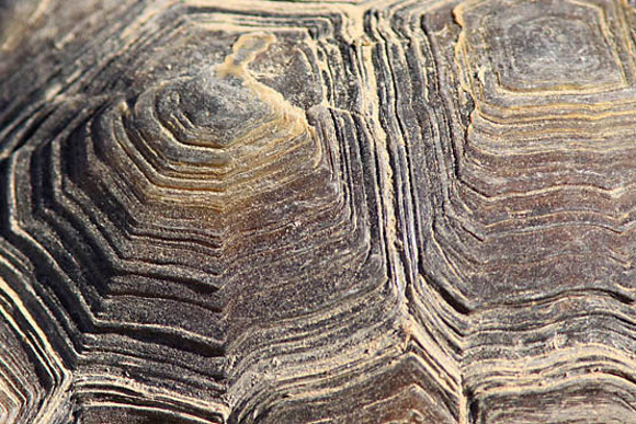 Detail of a desert tortoise's carapace scutes. | Photo: Courtesy David Lamfrom.