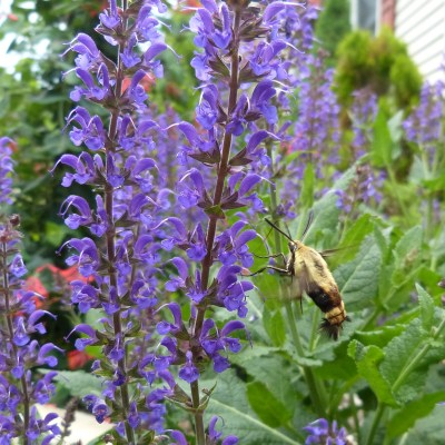 Snowberry clearwing likes my Salvia.