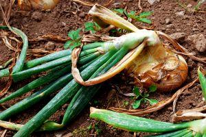 El sabio y las cebollas del huerto