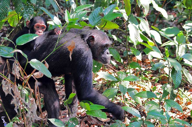 chimpanzee and chimp in mahale