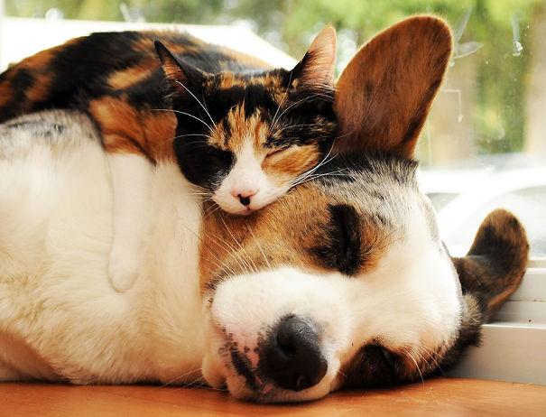 Gatti che usano cani come cuscini  KEBLOG