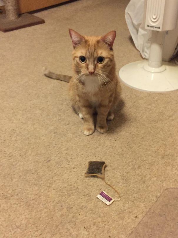 Foto gatti divertenti 103 immagini buffe di gatti colti