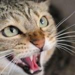 kedi agresif