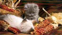 Kedilere Ev Yemeği Vermek Zararlı mıdır?