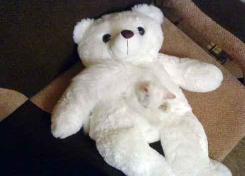 beyaz kamuflaj kedi