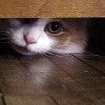 korkak kedi