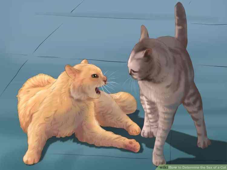 kedilerde cinsiyet anlamak 6