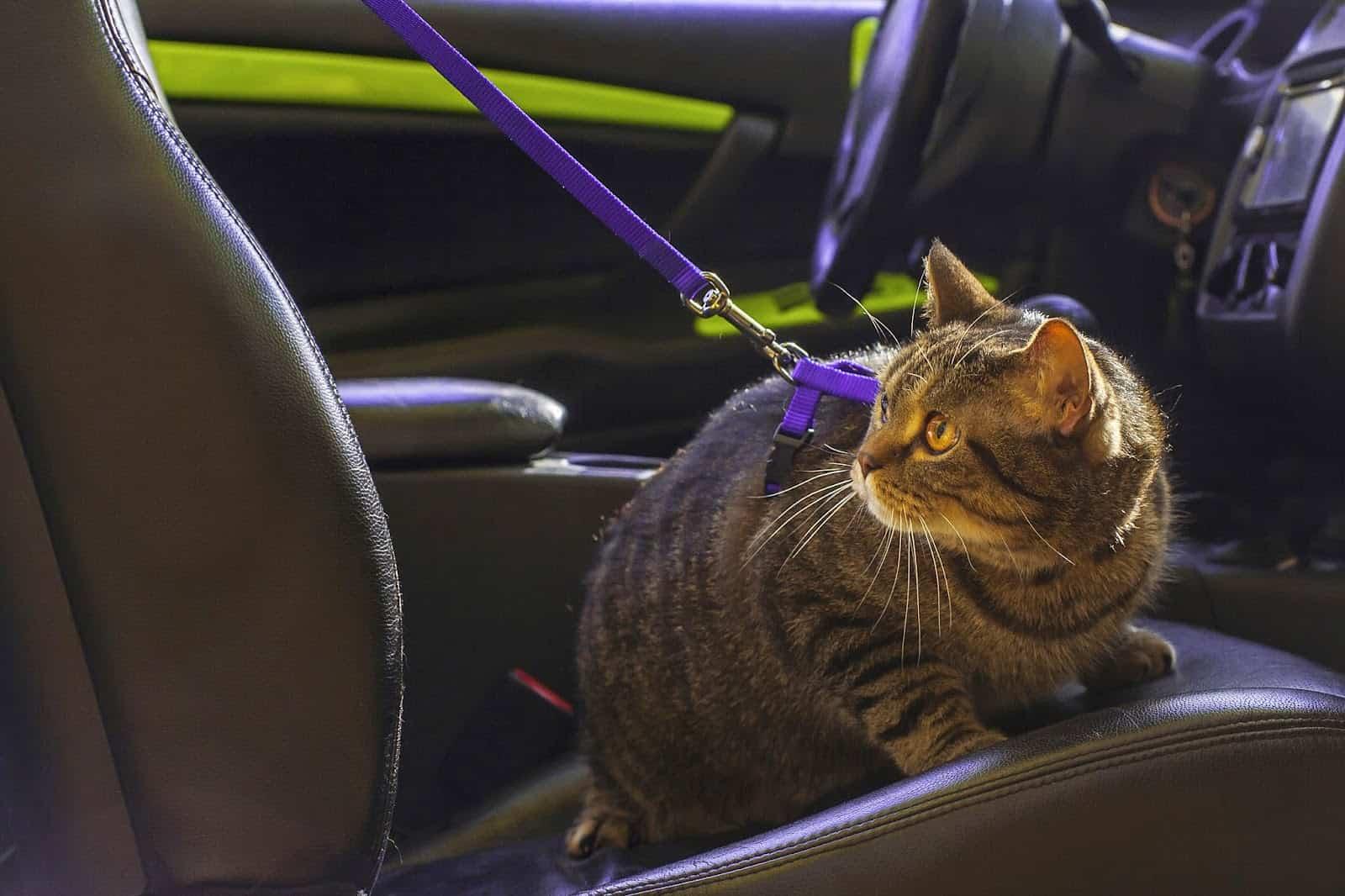 kedi seyahat