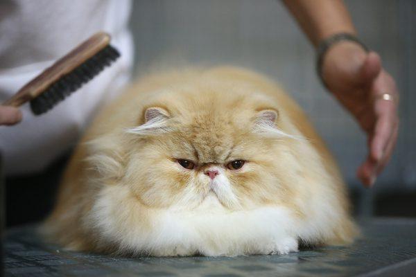 kedi tüy bakımı