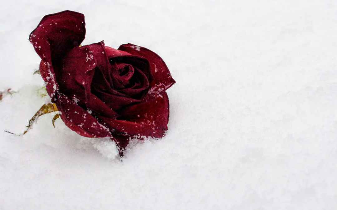 Winter Rose Care by Judy Carter, Editor, Tulsa Rose Society