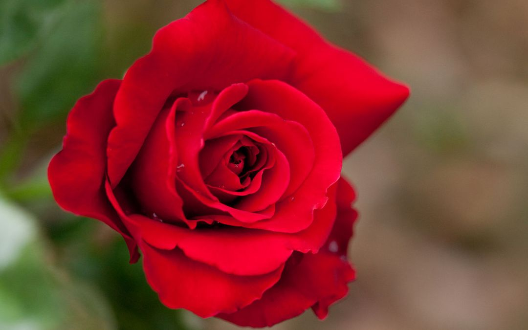 More on March Rose Care by Judy Carter, Tulsa Rose Society