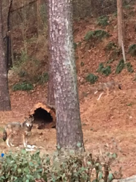 two red wolves by tree and stump