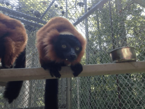 Red Ruffed Lemur standing on a perch in their outdoor side cages.