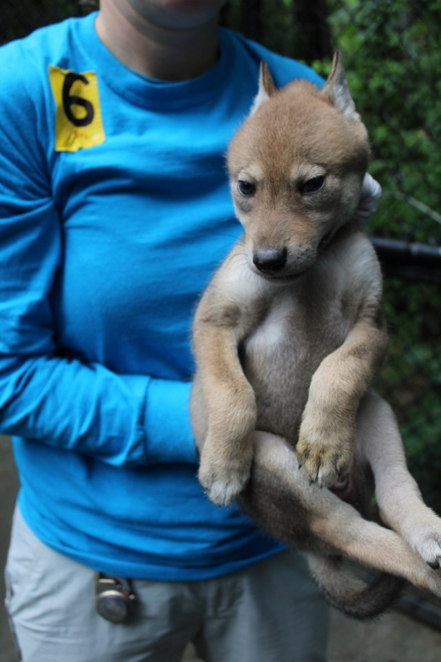 red wolf pup in Keeper's hands