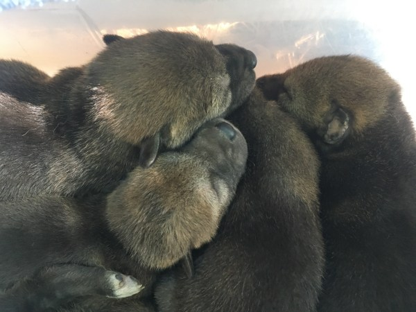 pile of red wolf pups