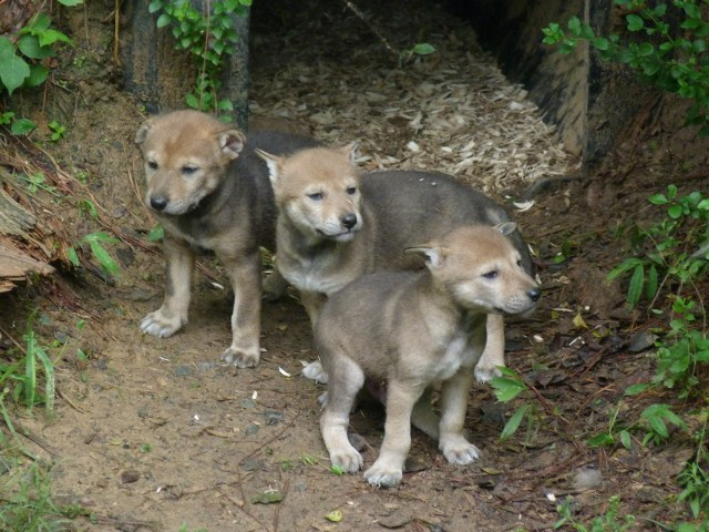 3 red wolf pups