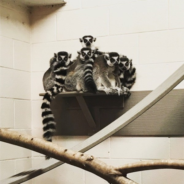 Five Ring-Tailed Lemurs sitting on a shelf.