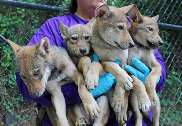 four 6-week old red wolf pups being held