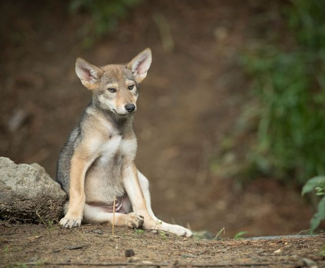one red wolf pup sits