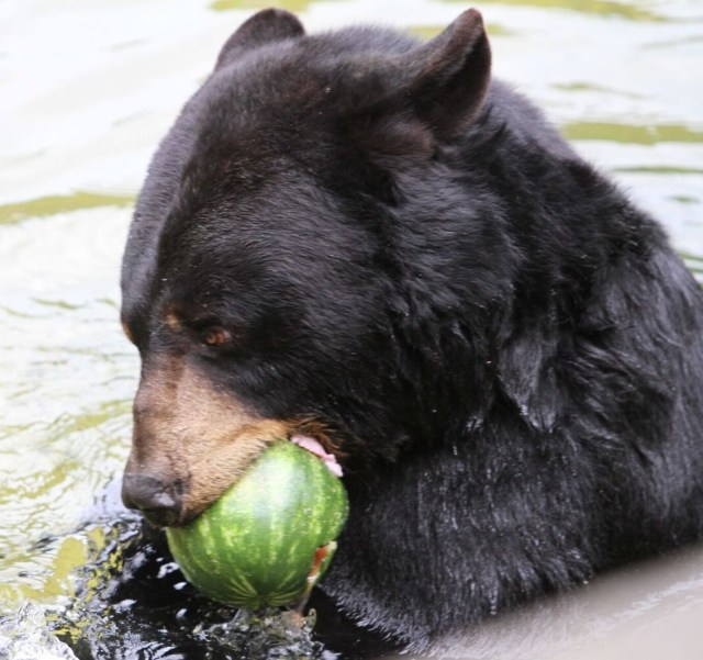 black bear with watermelonin mouth