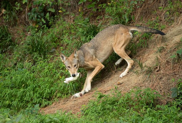female adult wolf eating rats