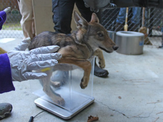 pup getting weighed