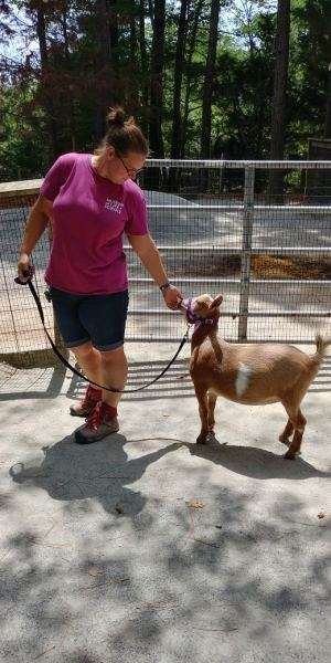 Animal Keeper walks a tan goat wearing a purple halter in the farmyard