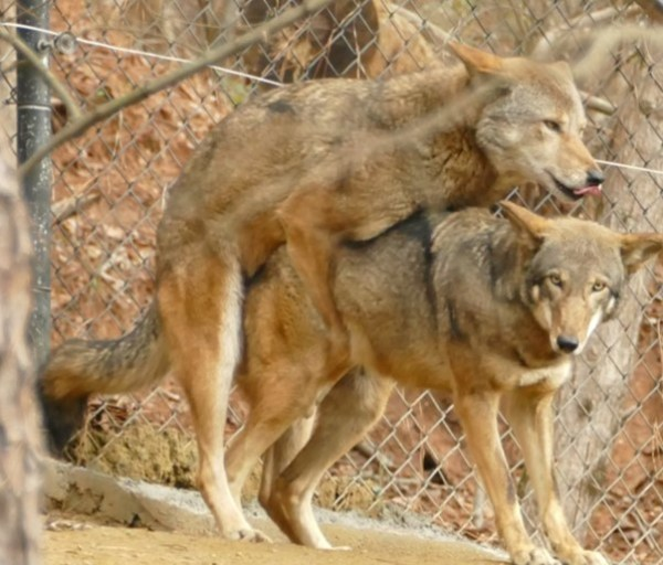 red wolves mating