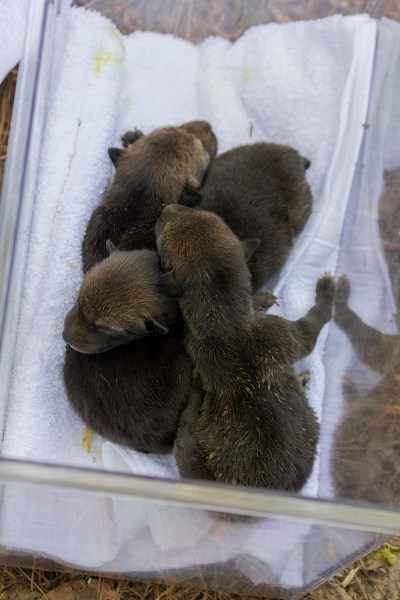 three red wolf pups in weighing container