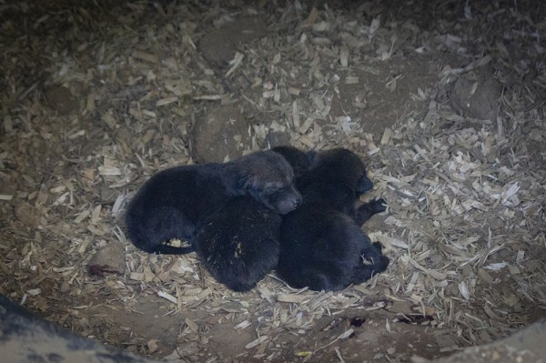 three newborn red wolf pups in den