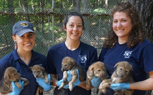 red wolf pups at NC Zoo