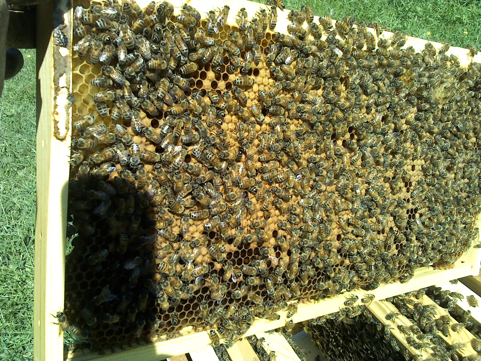 propolis in the hive keeping backyard bees