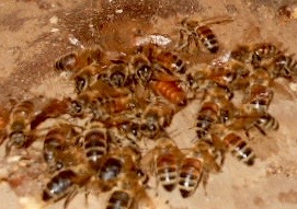 Which bee is not like the others? A queen and her court dash into a barrel hive.