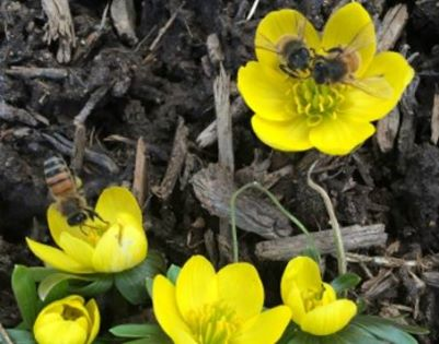 Winter Aconite with bees