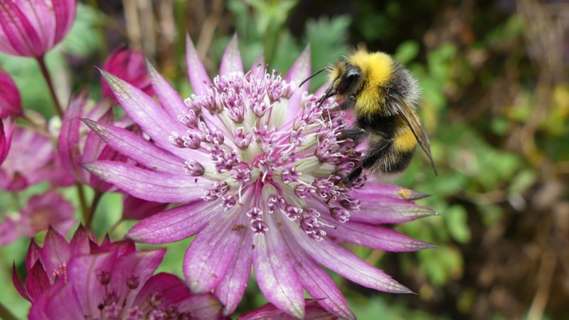 Bumblebee on Astrantia flower