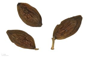 Indian almond leaves.