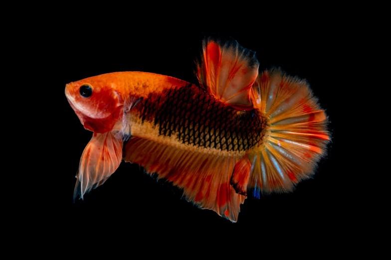 Orange plakat betta fish.