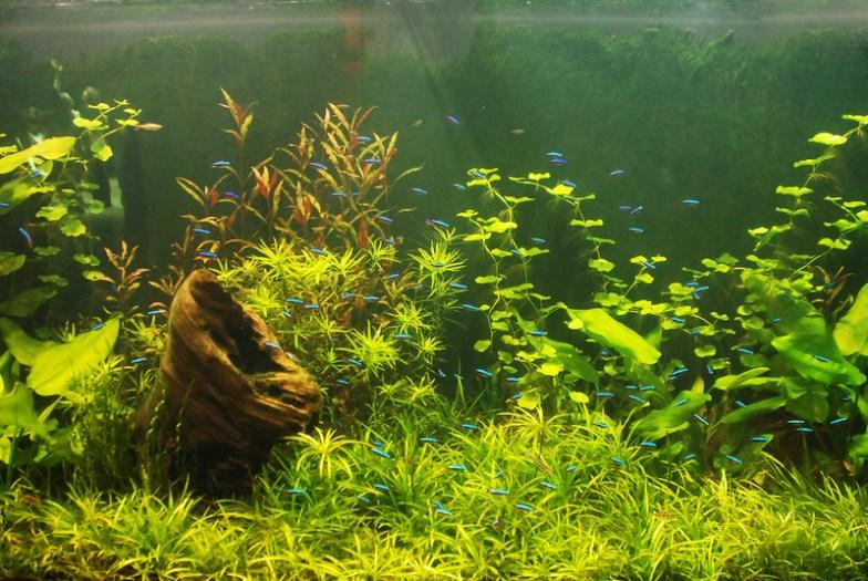 Neon tetra aquarium.