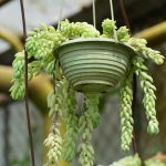 15 Popular Trailing Hanging Succulents Keeping Succulents