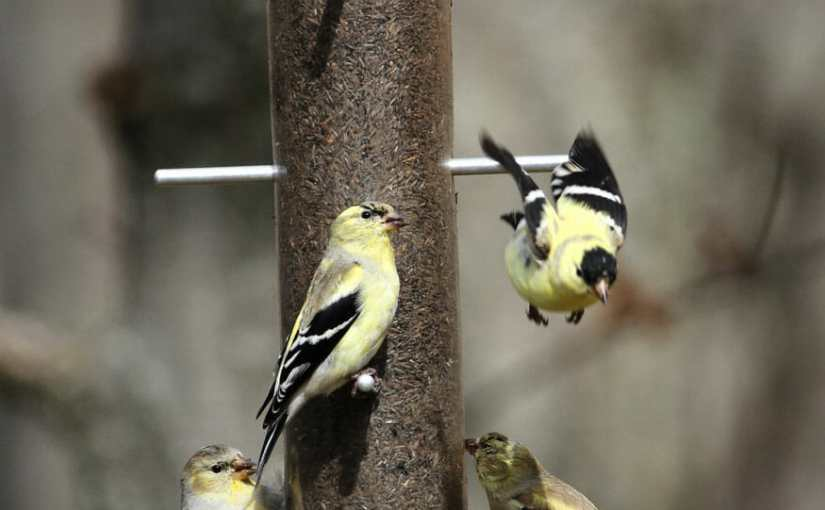 The Goldfinches Are Back, And Some  Other Birds In My  Backyard.