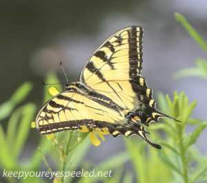 Upper lehigh swallowtail butterfly 156 (1 of 1)