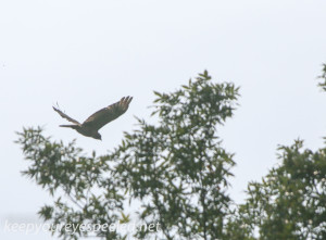 PPL Wetlands red tailed hawk (1 of 1)