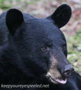 Bear 31 (1 of 1)