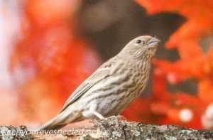Back yard birds finch 20 (1 of 1)